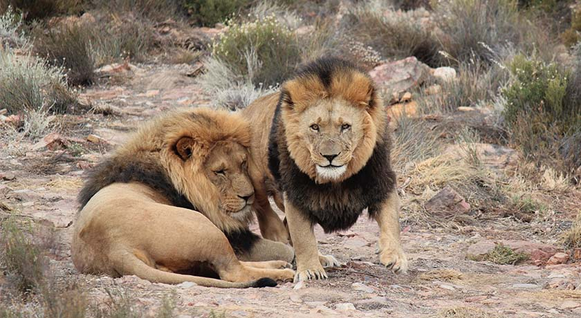 south-africa-honeymoon-safari-lion